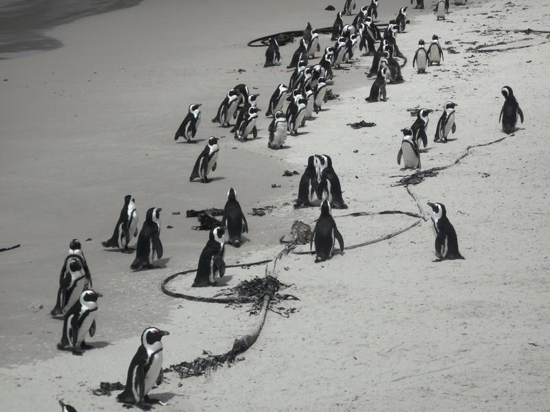 pingvinek Fokvárosban.JPG