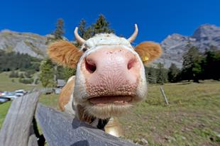 Mit iszik a tehén?