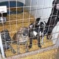 Tévhitek a kutyák és cicák ivartalanításával kapcsolatban