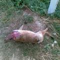 Brutális róka gyilkosság!