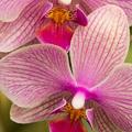 Orchideák, lila (+sárga, +fehér stb.) orchideák...