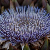 Lila őszi csoda: az articsókavirág