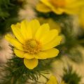 Virágba borul a tavaszi hérics is