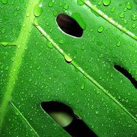 Zöld levelek vízcseppekkel és szárazon