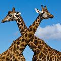 Szeretnél egy zsiráfot a kijelződre?
