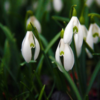 Hóvirágok - mindjárt itt a tavasz? :)