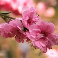 Tavaszi készülődés: japán cseresznyevirágok