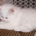 Kis fehér szőrpamacs