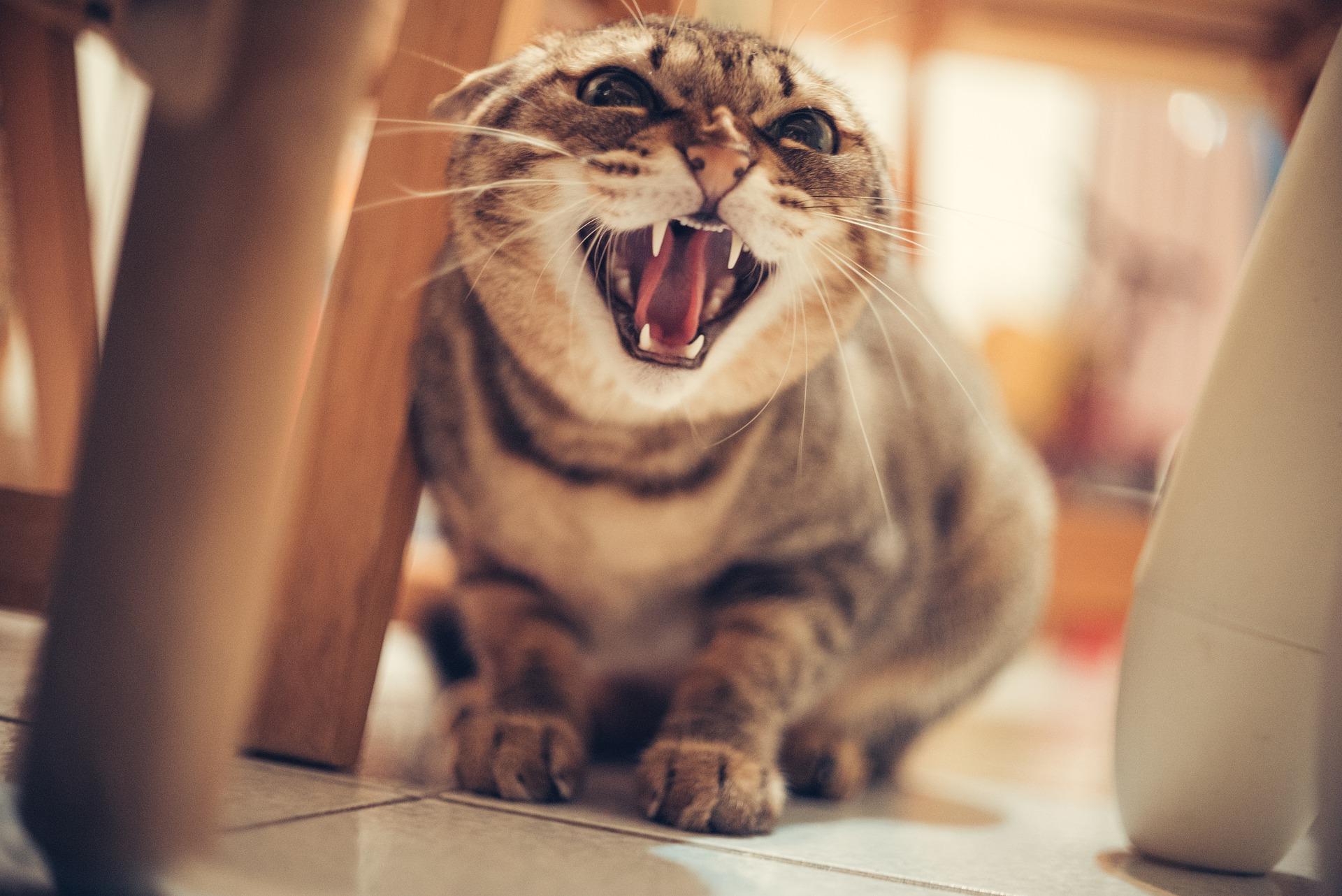 Valós veszély otthonunkban a macskatámadás?