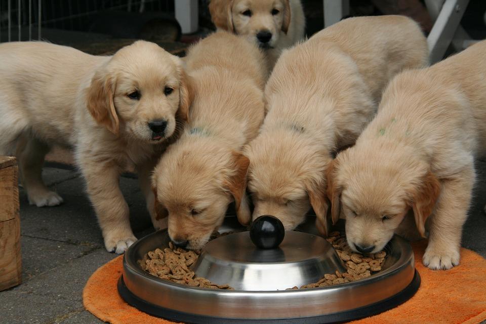 golden-retriever-puppy-2706666_960_720.jpg