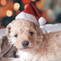 Segítség, élő kisállatot kaptam karácsonyi meglepetésnek!