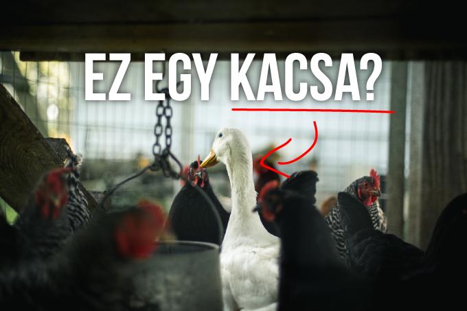 kacsa.png