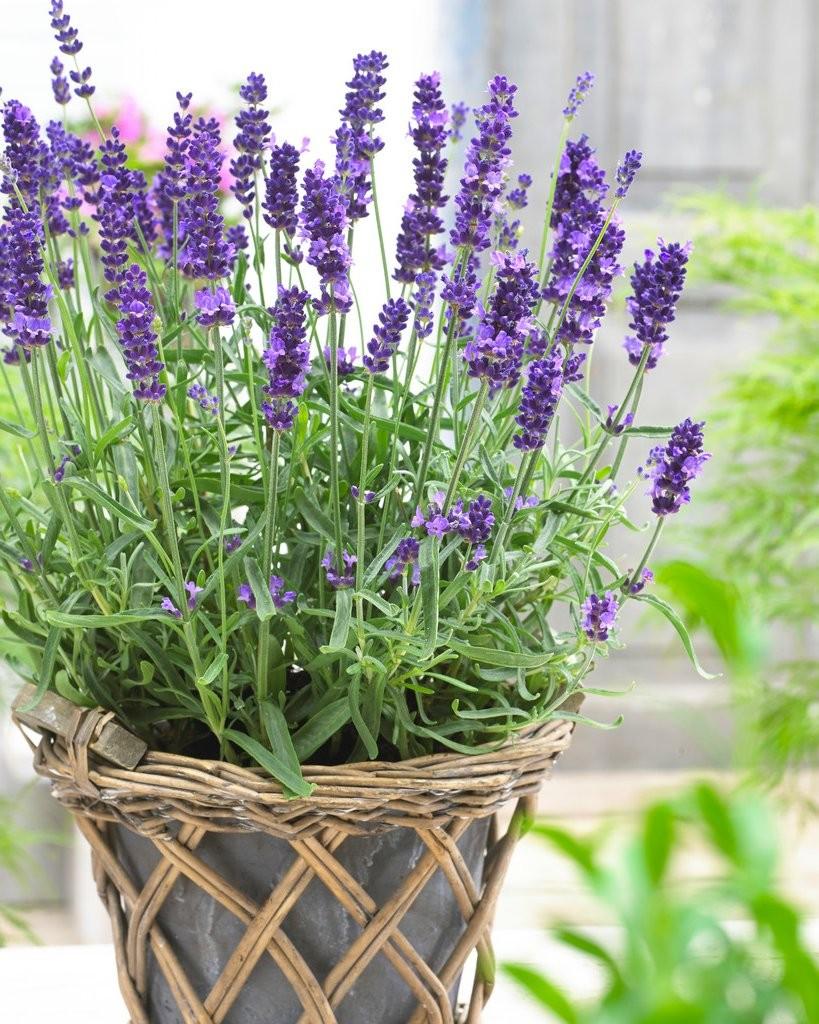 lavender-hidcote-blue-pot1_1_1.jpg