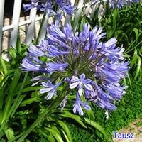 Szerelemvirág (kertben)