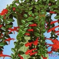 Szájvirág (gondozása)