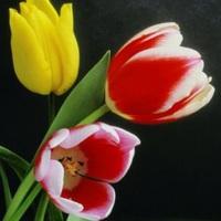 Tulipán (hajtatása)