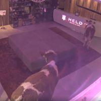 Tirol: és egyszer csak besétált két tehén a 4 csillagos szállodába...