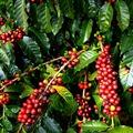 Etióp gasztronómiai barangolás - Kávé, Kocsó – Torpedó