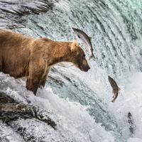 Lazacra vadászó macik Alaszkából - élőben