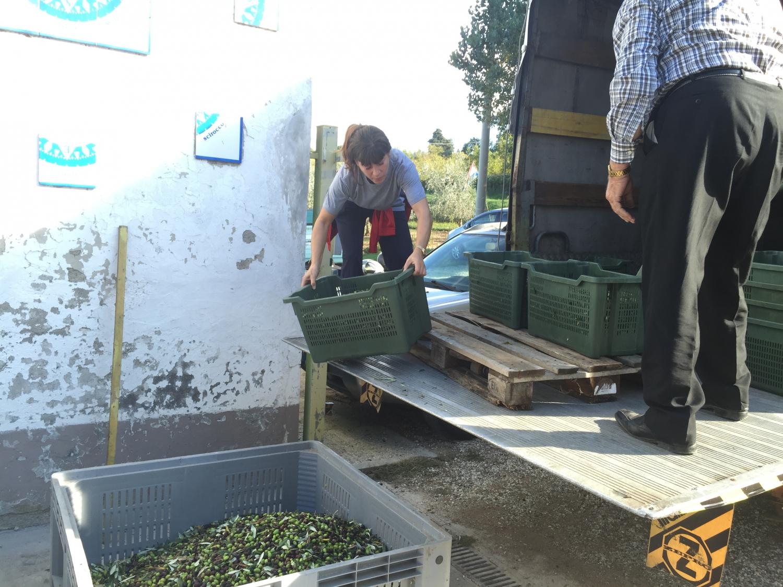 A frissen szüretelt olajbogyó megérkezik a présházba (Fotó: Nyitrai Réka Viktória)