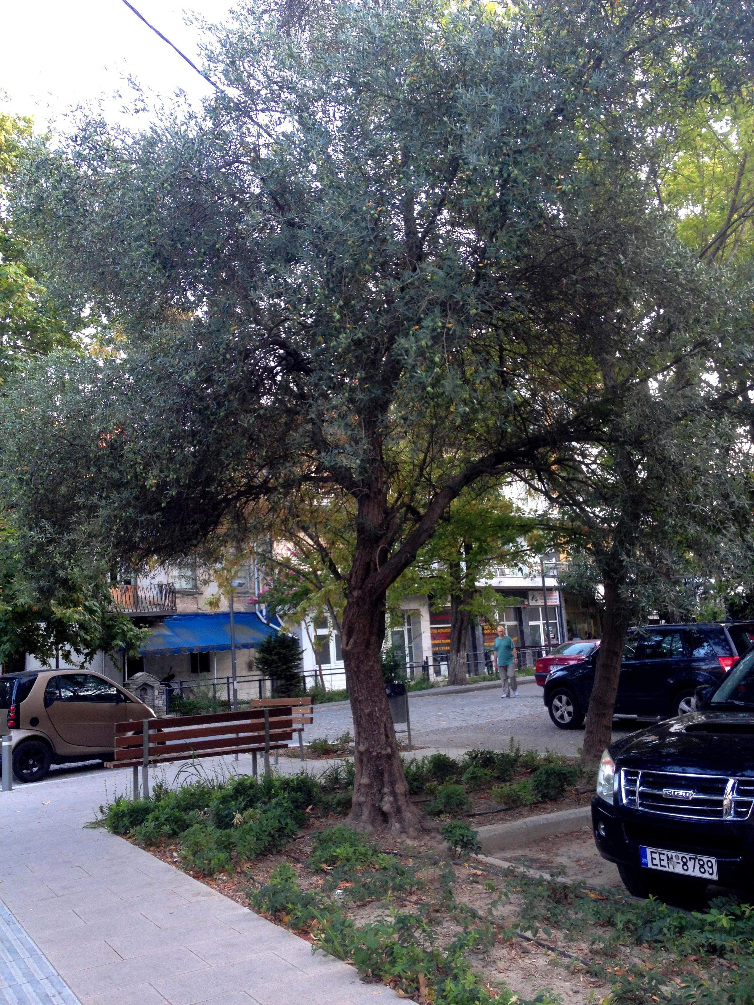 Olajfa a belvárosban (Fotó: Sztogi)