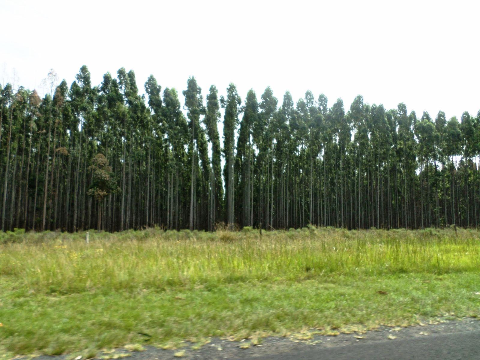 Eukaliptusz ültetvény (Fotó: Szabó Ági)