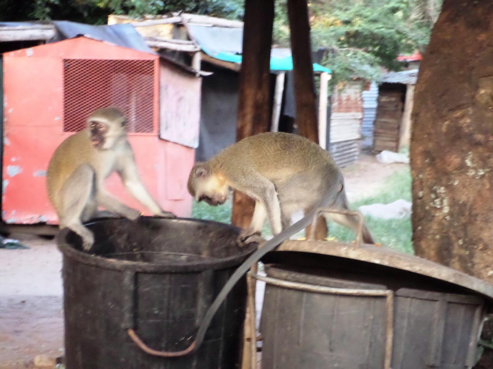 Kukázó majmok Durban egyik bádogvárosrészében (Fotó: Sazbó Ági)