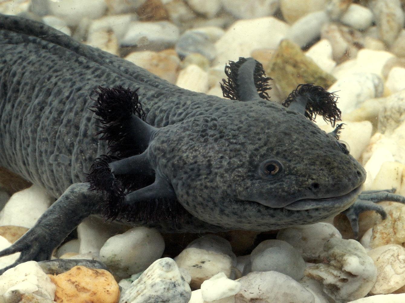 axolotl.jpg