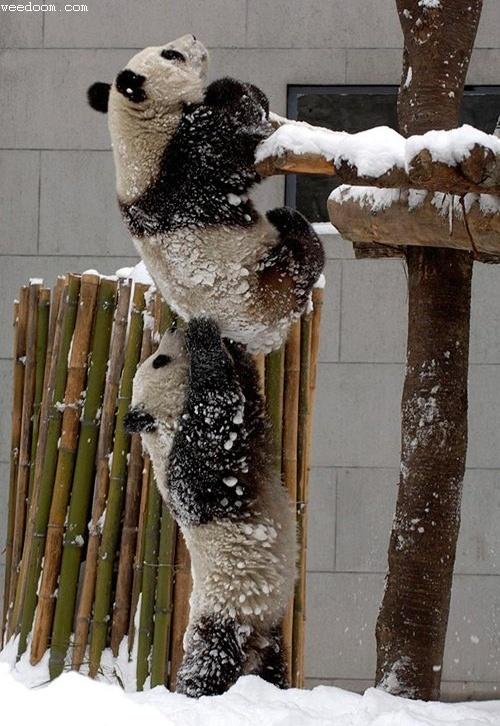 panda_cooperation.jpg