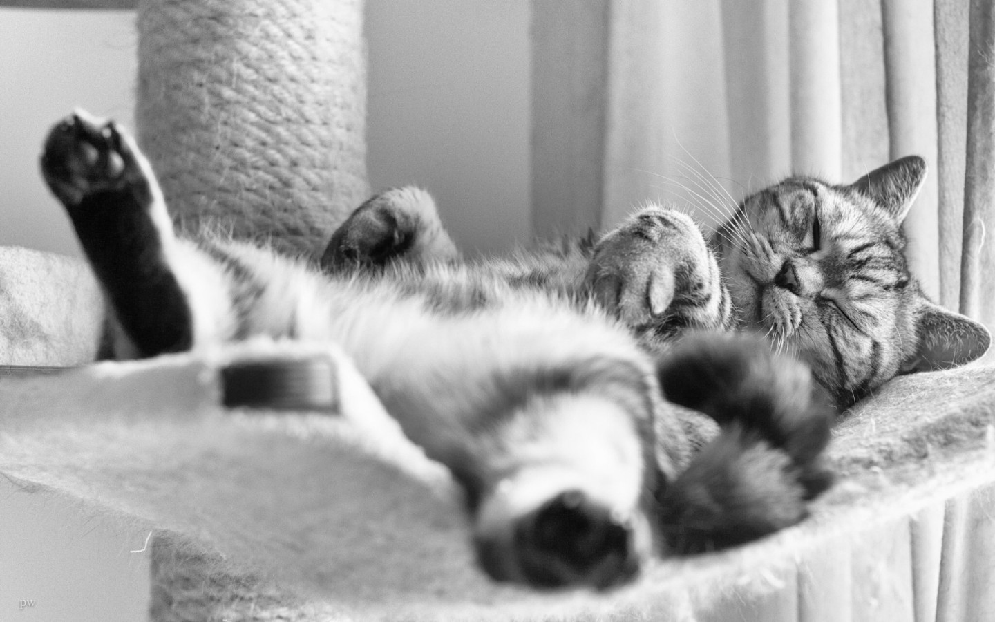 cat-sleeping-in-a-funny-position-cute-lazy-british-shorthair-1440x900-wide-wallpapers_net.jpg