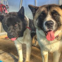 Love is in the air #akita #akitainu #love #dog #hydrotherapy