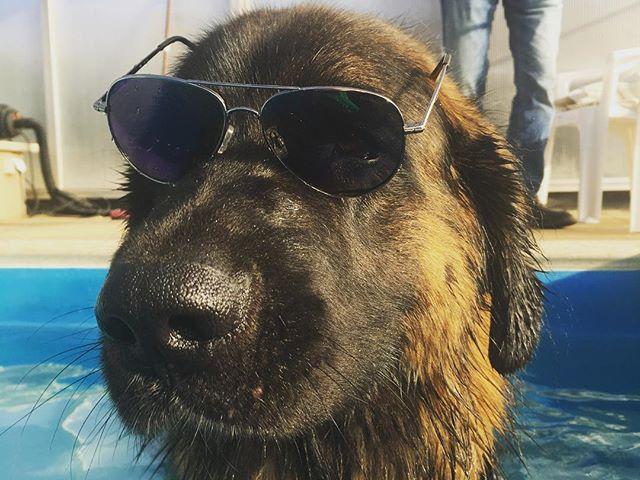 Aramis #leonbergergram #leonbergerinstagram #pool #hydrotherapy #ruffwear #dog