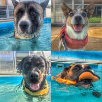 Faces #dog #caninerehab #hydrotherapy #ruffwear #doglover #rottweiler #jackrussel #boxerdog #akita