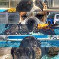 Dog eyes #dog #caninerehab #hydrotherapy #ruffwear #doglover #juliusk9 #englishbulldogs #labrador #caucasianshepherd #bernesemountaindog