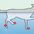 Hogyan úsznak a kutyák