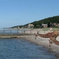 40 zsiráf sodródott partra Írországban