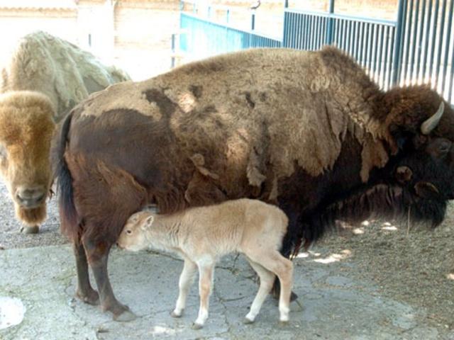 Fehér bölény született