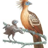 A titokzatos hoacin esete: a neodarwinizmus újabb biogeográfiai cáfolata