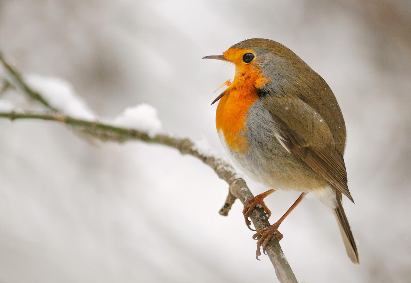 A vörösbegy fő tápláléka rovarok és csigák, de a tél beköszöntével bogyókra és gyümölcsökre váltanak. (fotó: Potyó Imre)