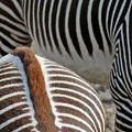 A zebrák és az oroszlán