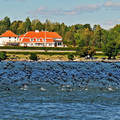 Kormorán nagygyűlés Stockholm partjainál