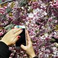 Virágzik a japáncseresznye Stockholmban