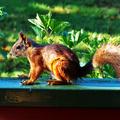 A norvég mókus
