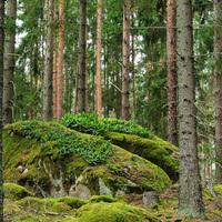 Márkus Róbert: A svéd erdőben (vendégposzt)