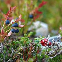 Lappföld, Linné és a fecskék