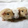 A három kismalac