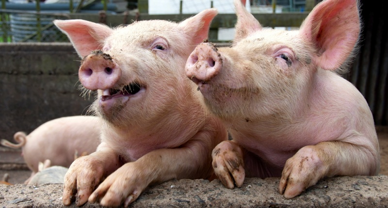 smiling-faces-funny-pig-couple.jpg