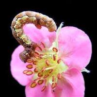 Lehetsz szerelmes egy rózsaszín virágú eperpalántába?