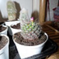 Kaktuszaim - Új jövevények