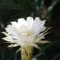 Kaktuszaim - Virágzás